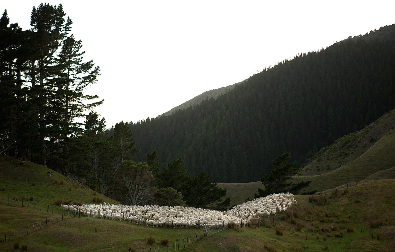 NZ_Sheep_Culture_ 003.jpg