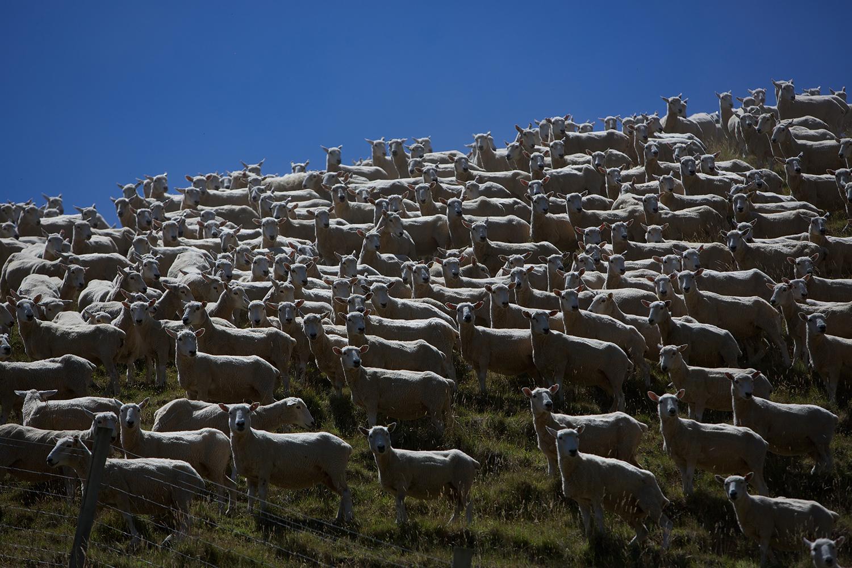 NZ_Sheep_Culture_ 006.jpg