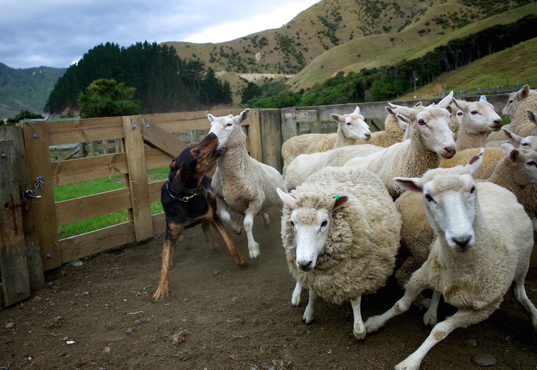 NZ_Sheep_Culture_ 009.jpg