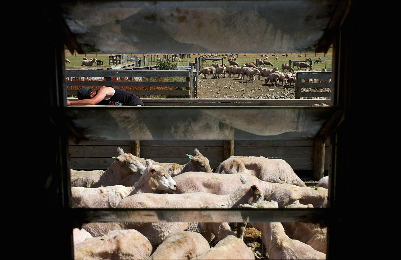 NZ_Sheep_Culture_ 014.jpg