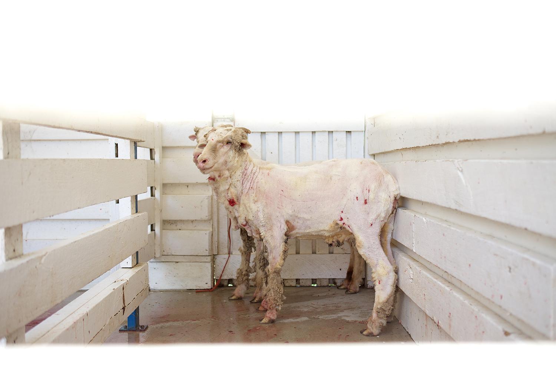 NZ_Sheep_Culture_ 020.jpg