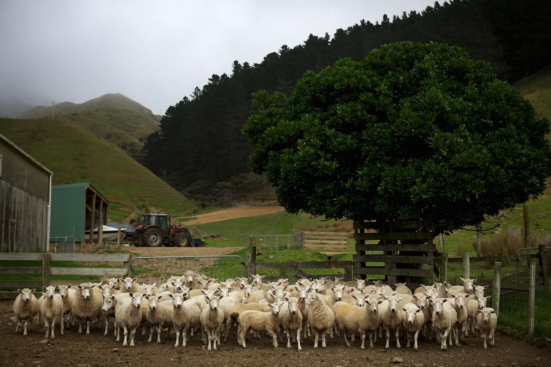 NZ_Sheep_Culture_ 026.jpg