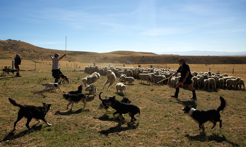 NZ_Sheep_Culture_ 036.jpg