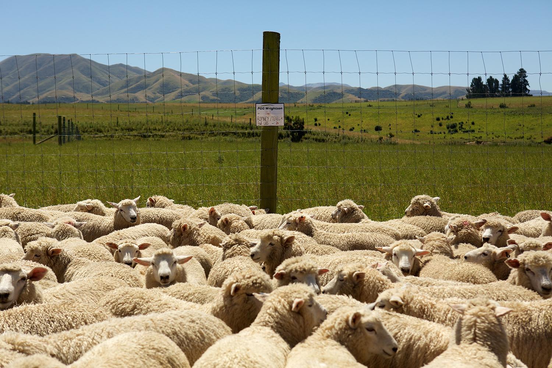 NZ_Sheep_Culture_ 040.jpg