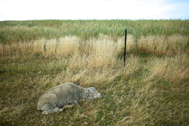 NZ_Sheep_Culture_ 043.jpg