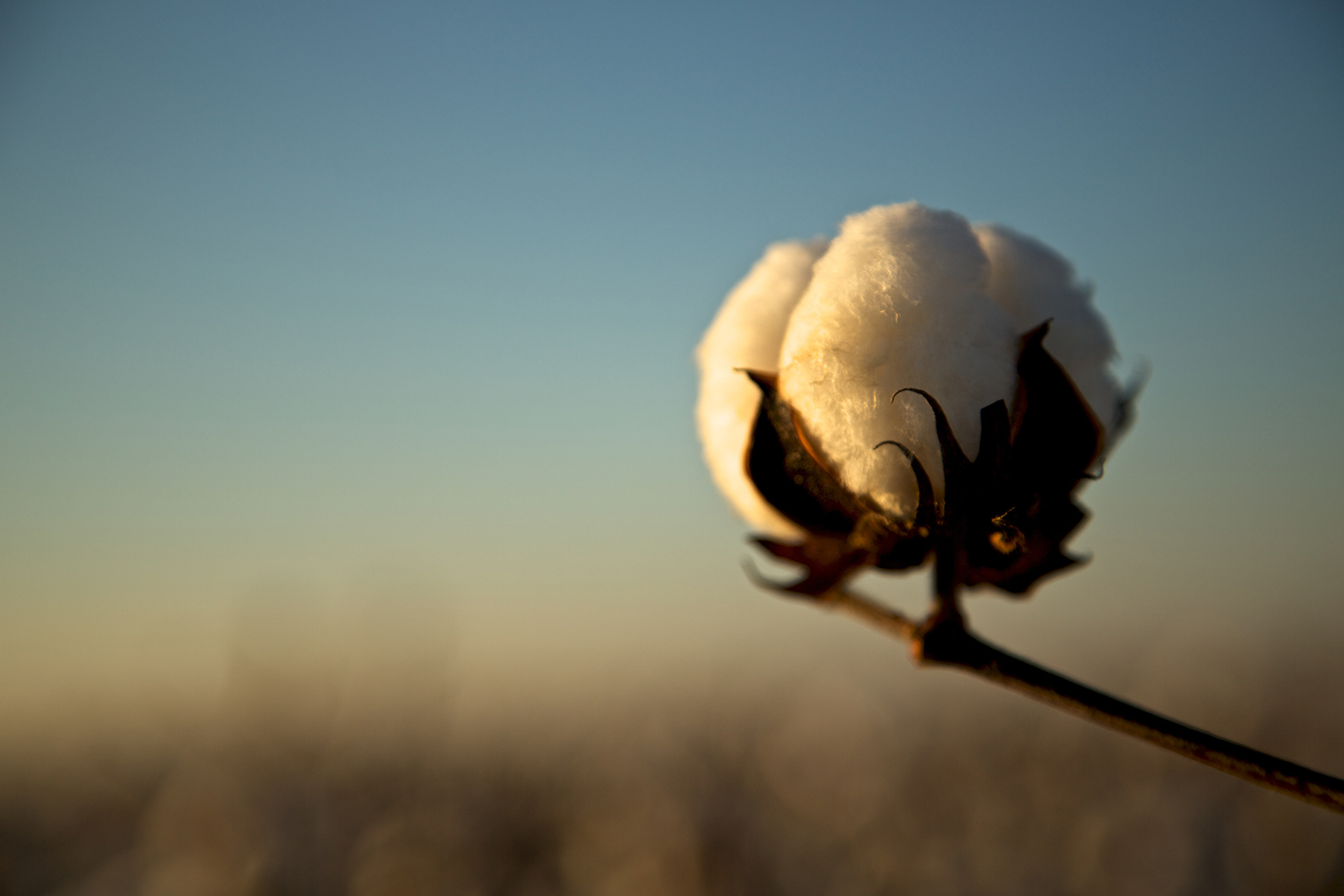 Cotton_USA_003.jpg