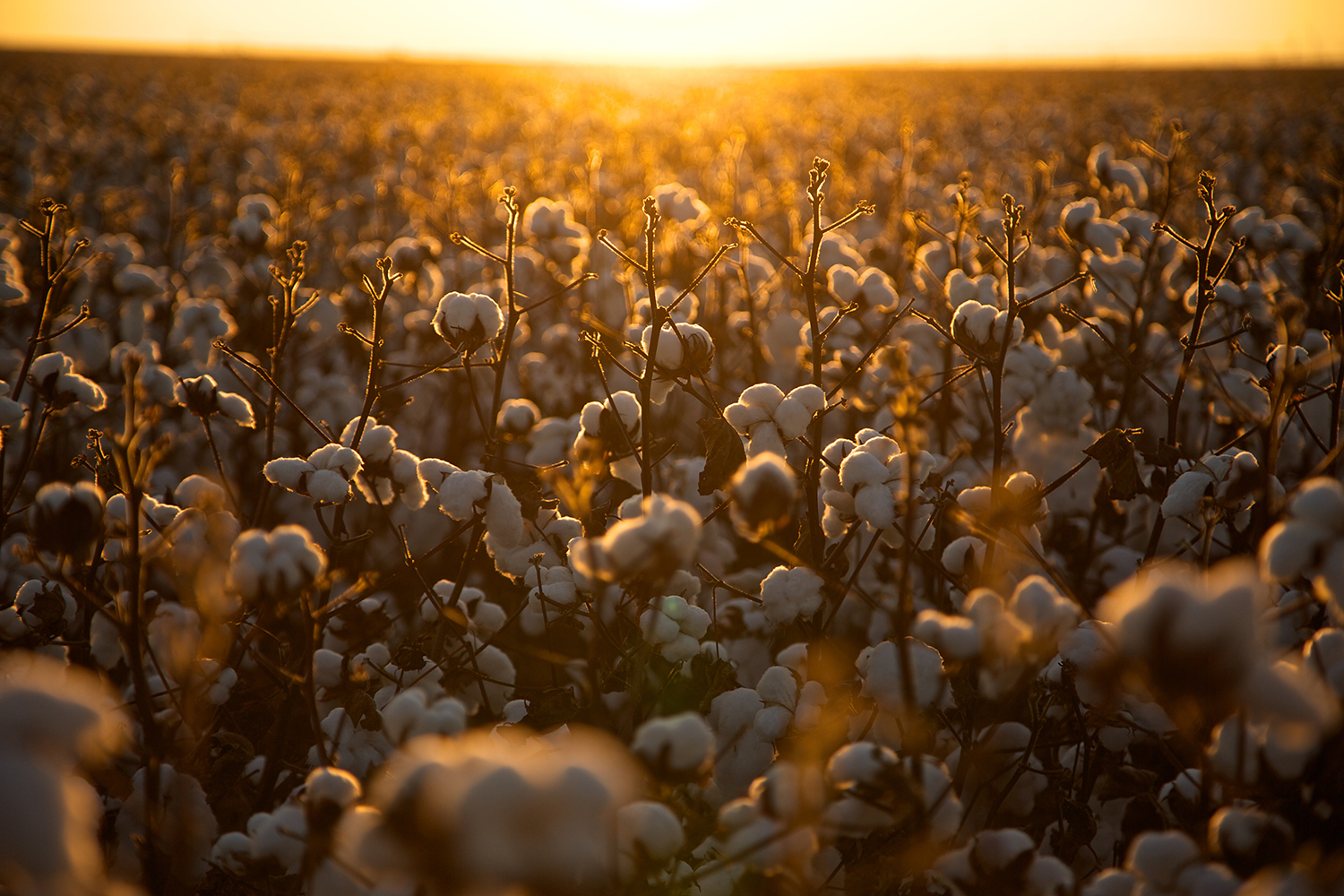 Cotton_USA_008.jpg