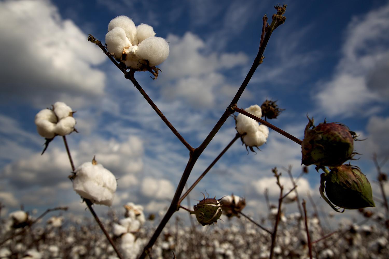 Cotton_USA_014.jpg