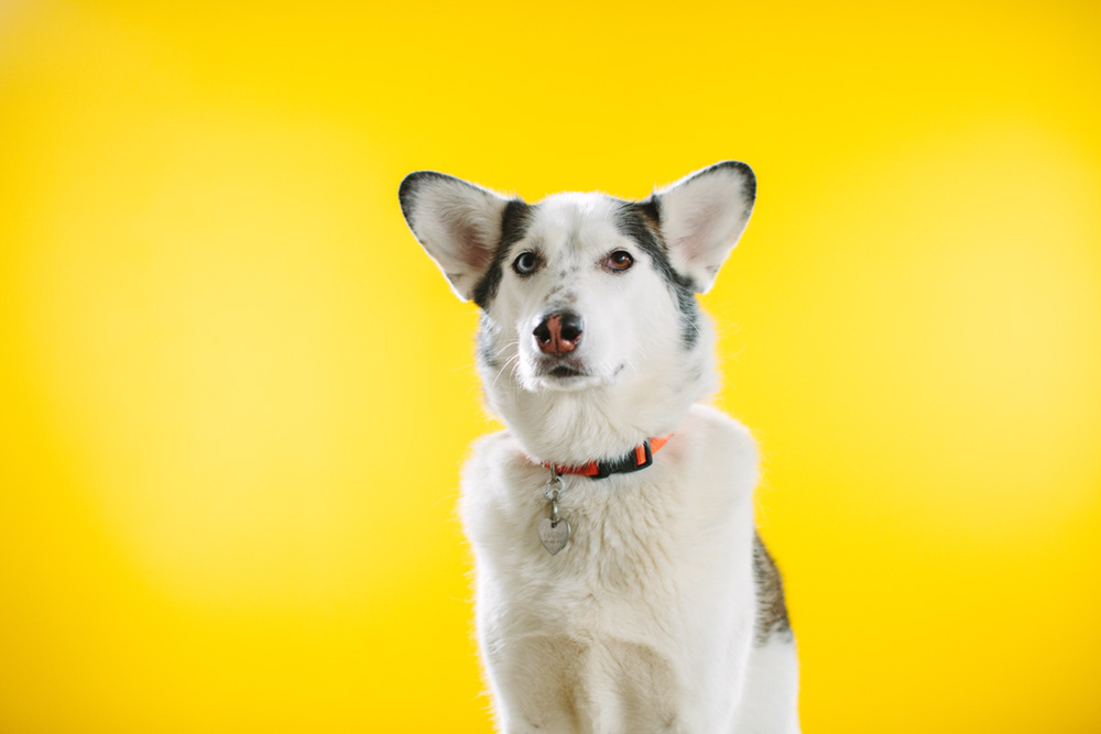 So much better! By bouncing light back at her with a silver relfector her face has the shape and sharpness a Husky-Corgi mix deserves.