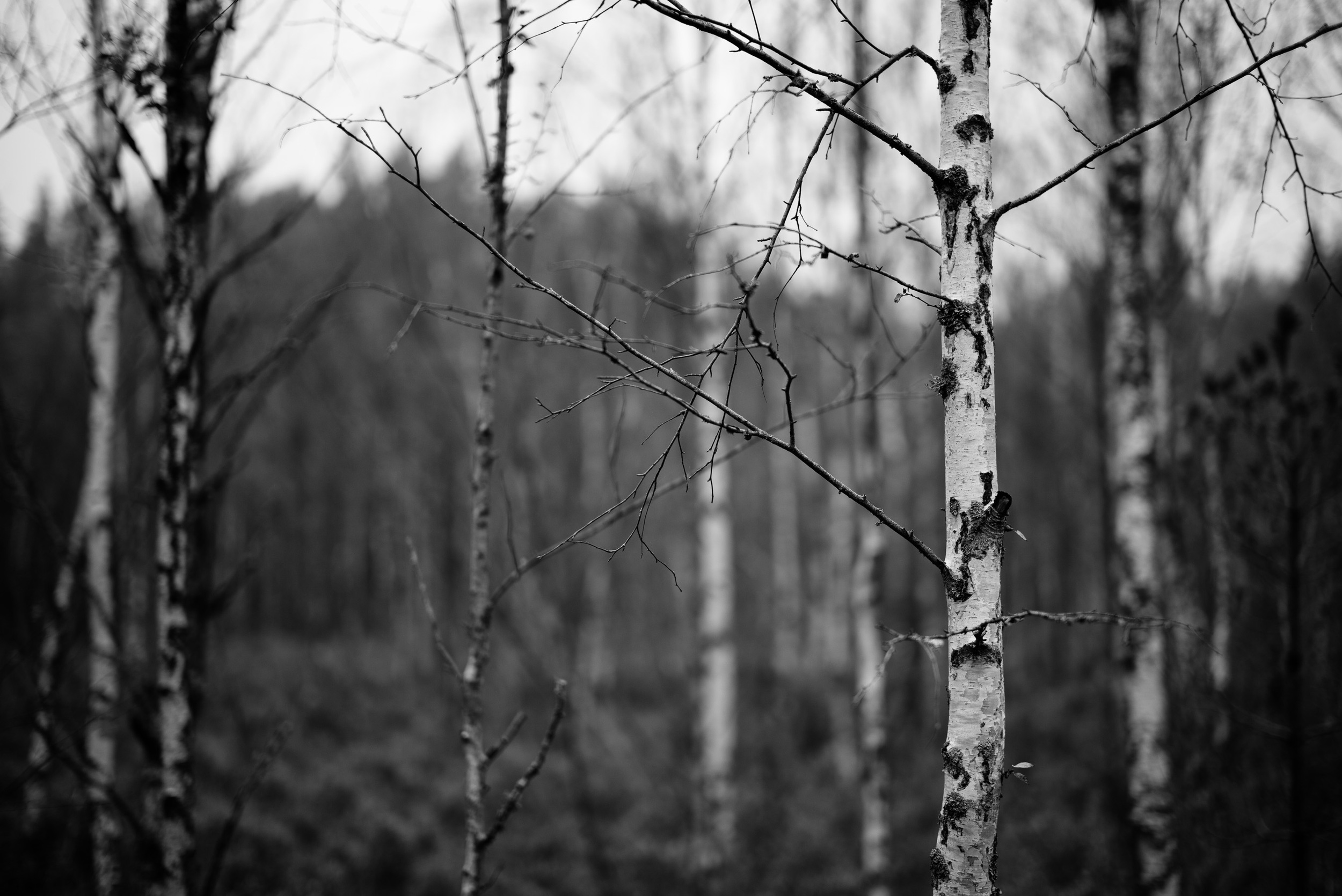 Birch trees at Tyresta National Park - I still prefer black and white images, and M files convert beautifully!