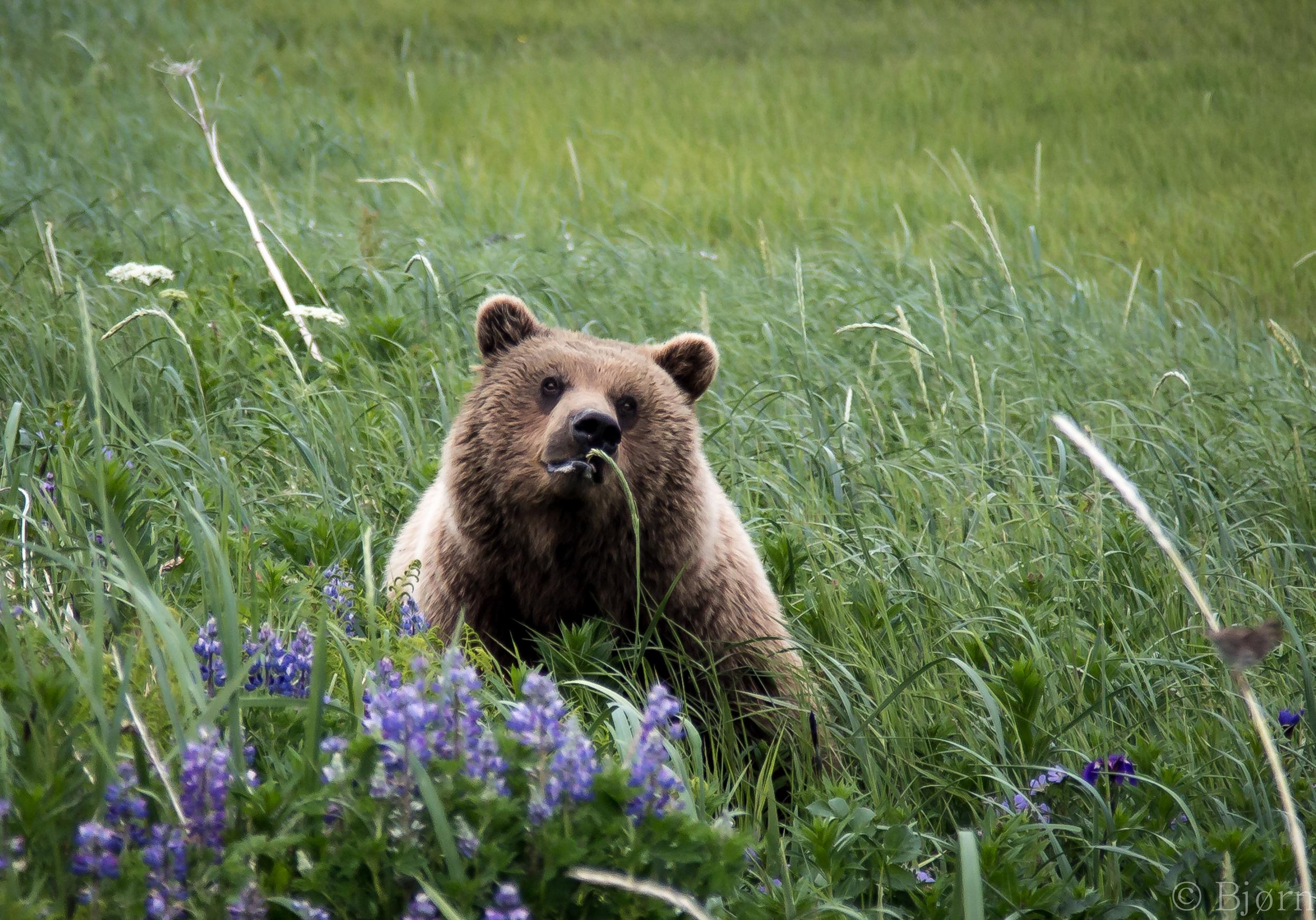 Bear in Lupine.jpg