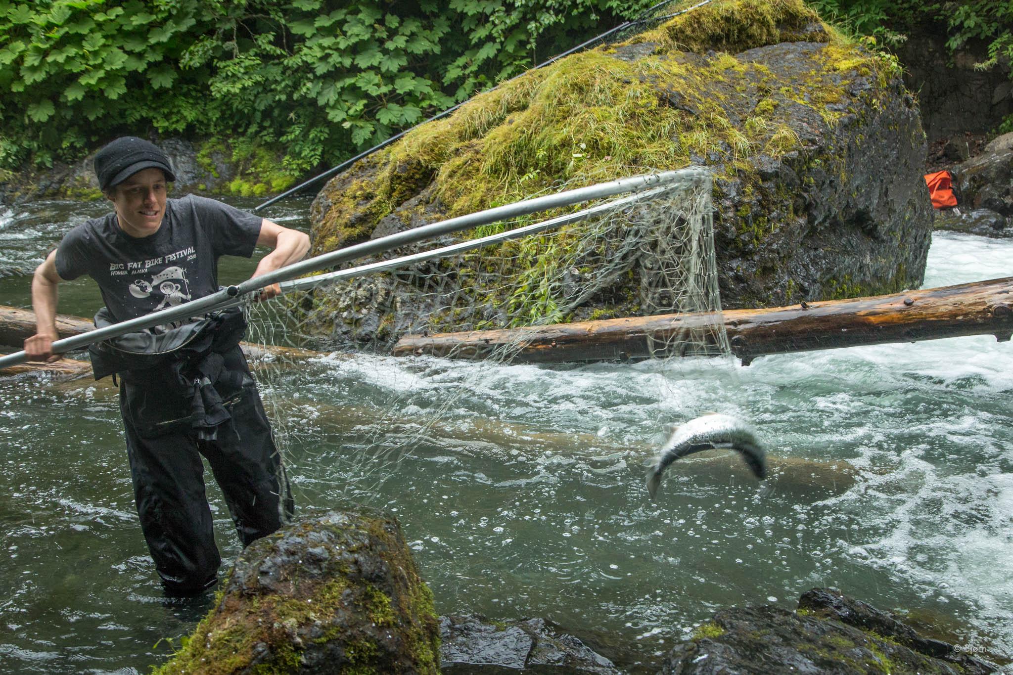 Kim dip-netting sockeye salmon - China Poot, Alaska.