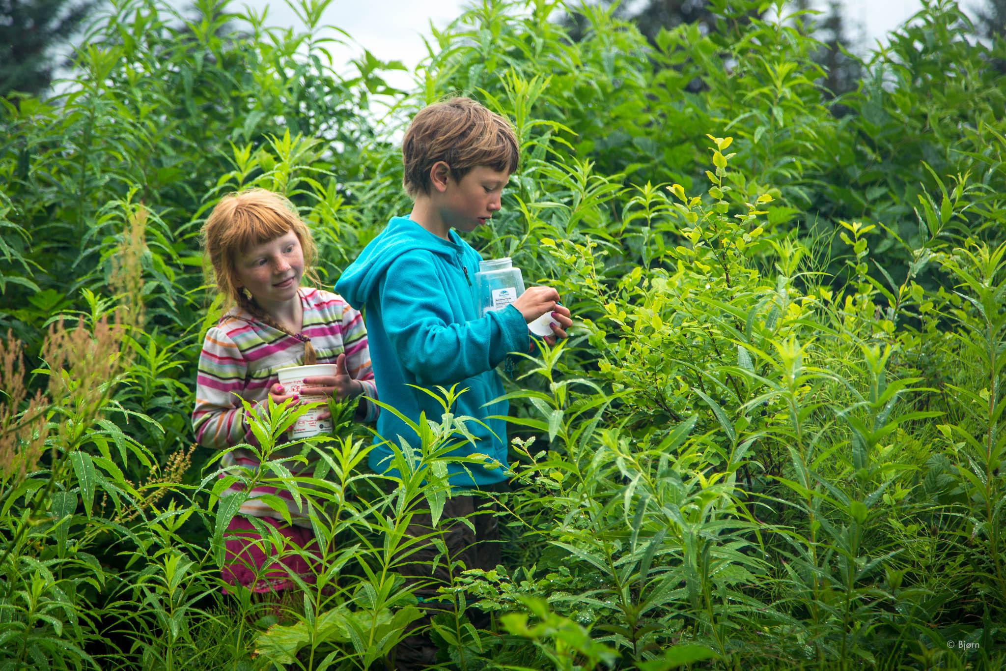 Katmai and Lituya harvesting berries - Seldovia, Alaska.