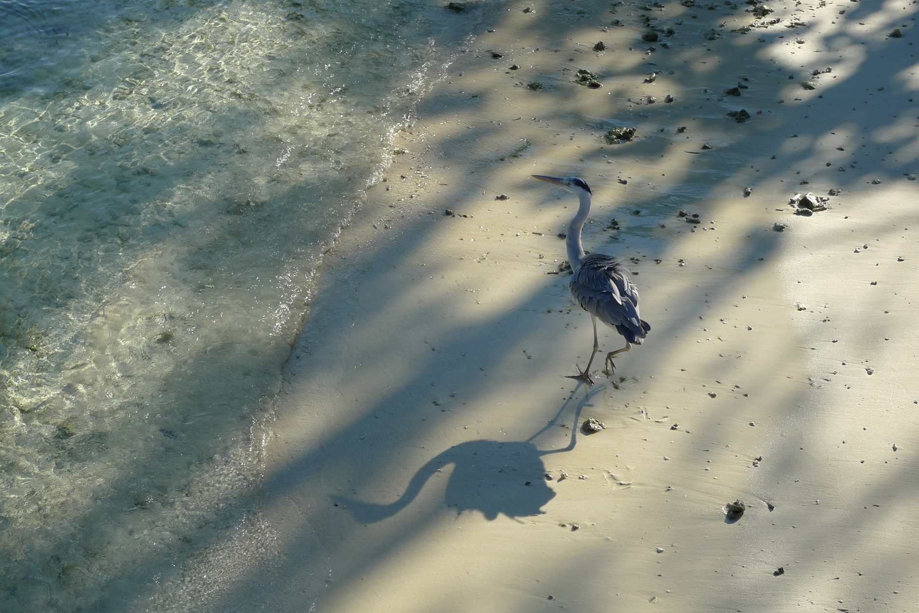 Heron casting shadow