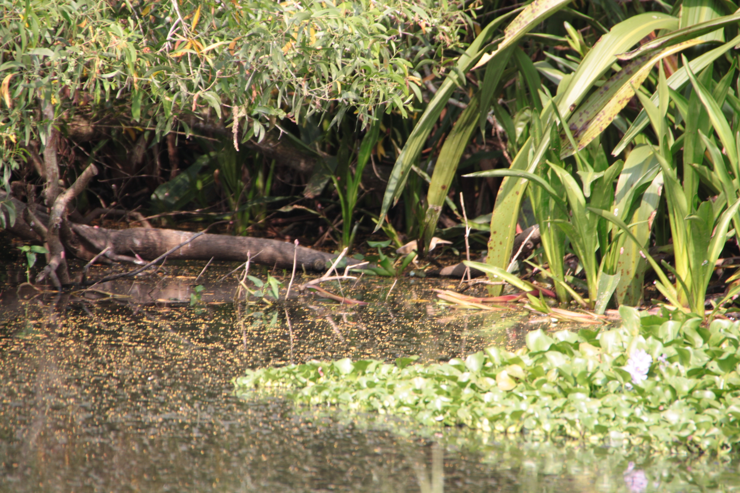 Yellow Bittern at Kranji Marsh Pond