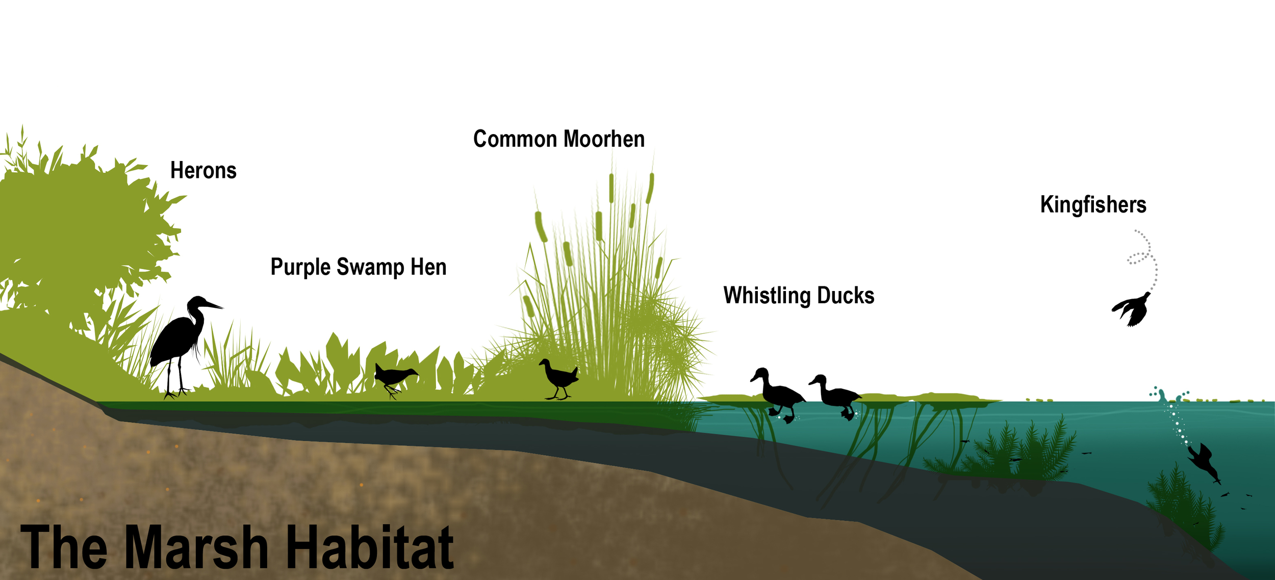 Graphic indicating some of the bird species of the marsh