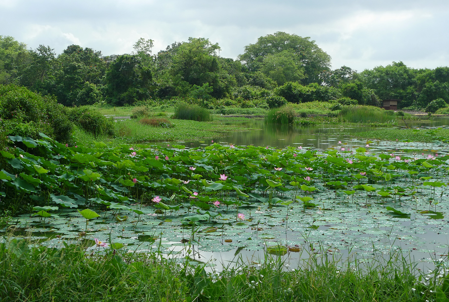Lotus Pond view from the Bee-eater Blind - Kranji Marshes - Stephen Caffyn Landscape Design
