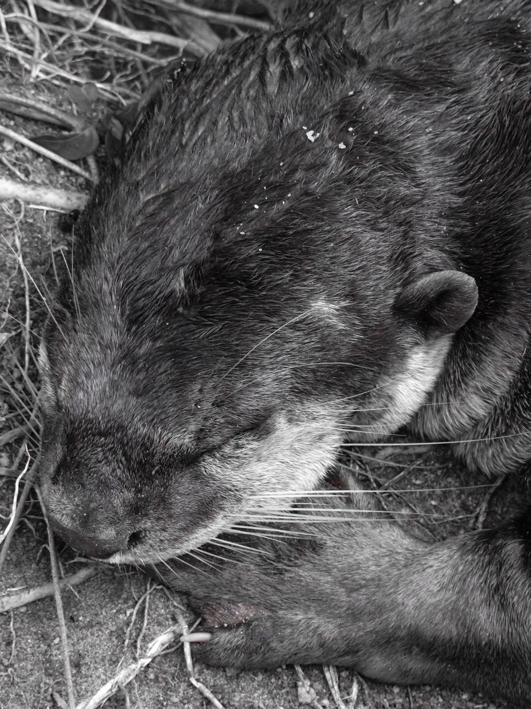 It's Otter nap time