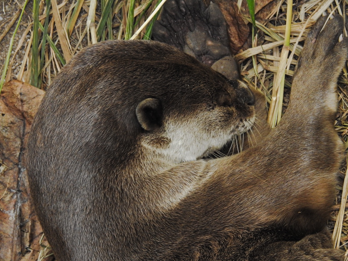 The otters are so relaxed around people they will nap a few feet away