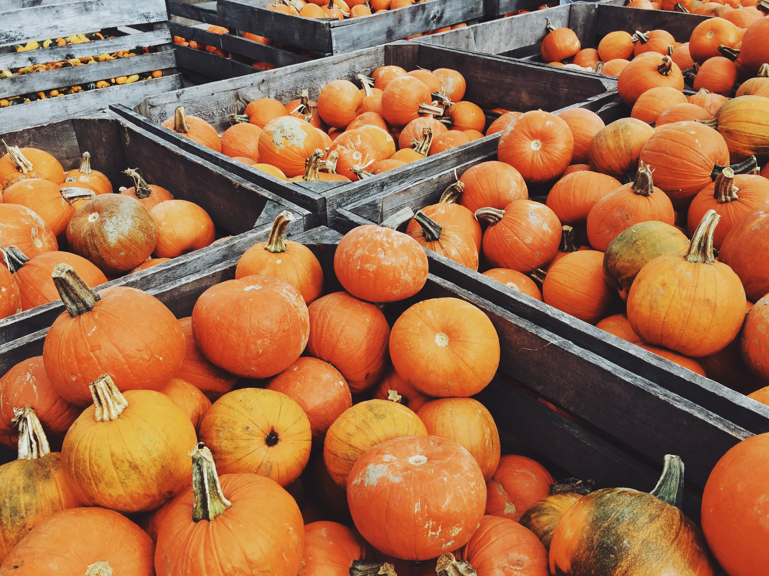 Pumpkins galore at Downey's Farm.