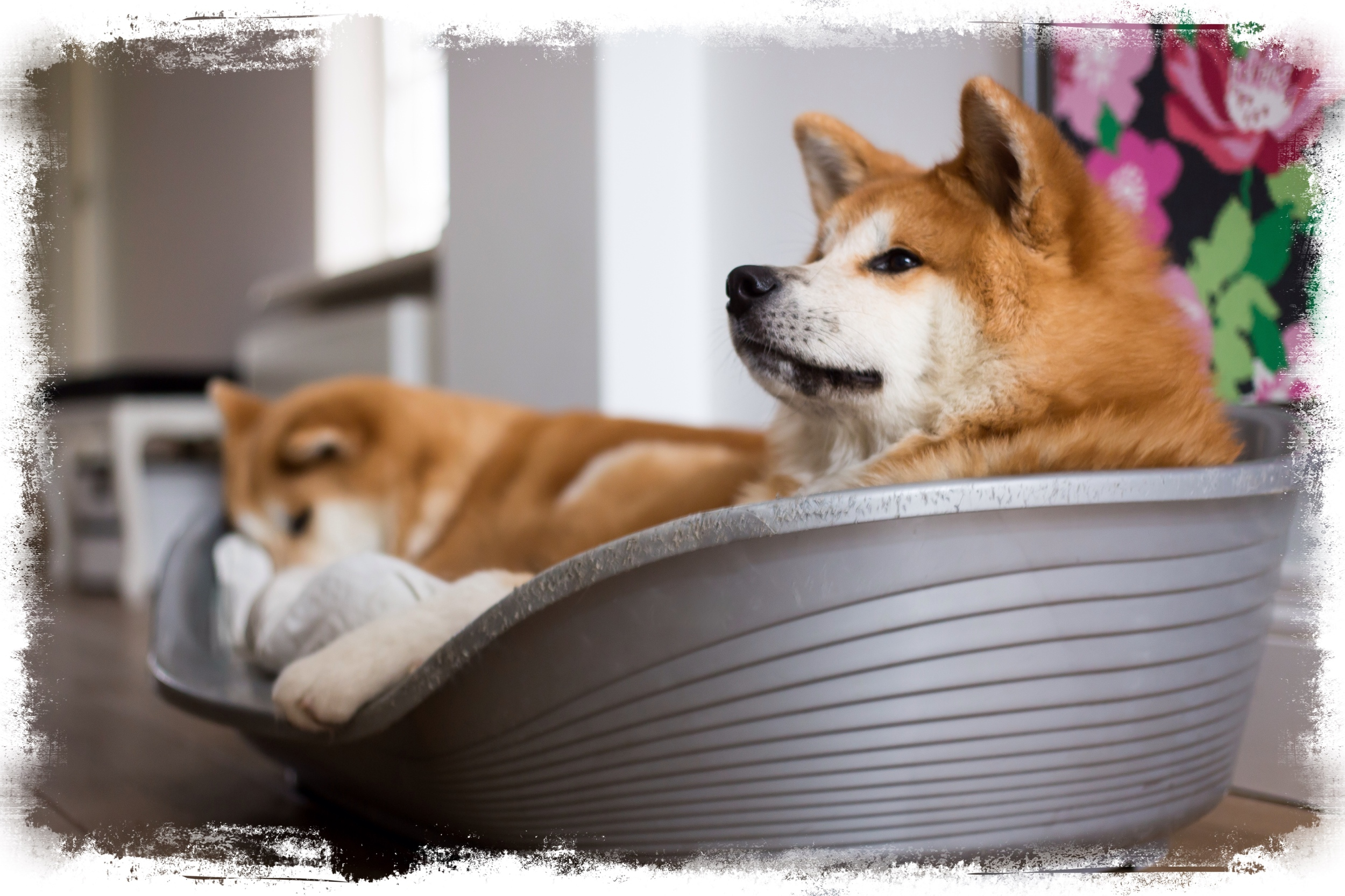 "Find out why they say "" Once Akita, Always Akita!"" and why it is more than just good looks."