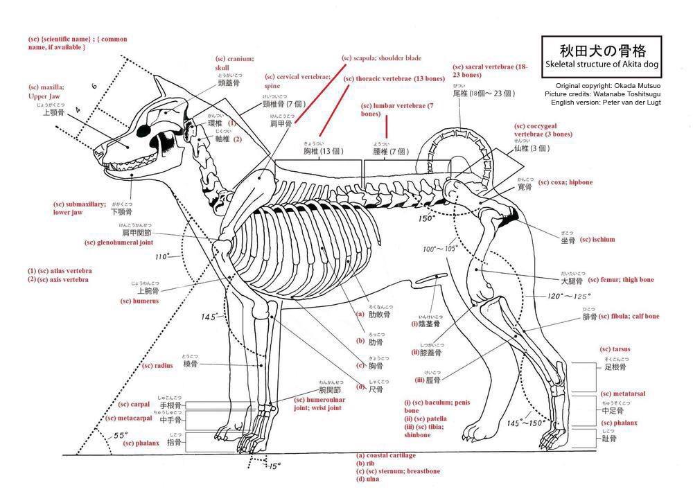 Akita Inu Skeletal Structure.jpg