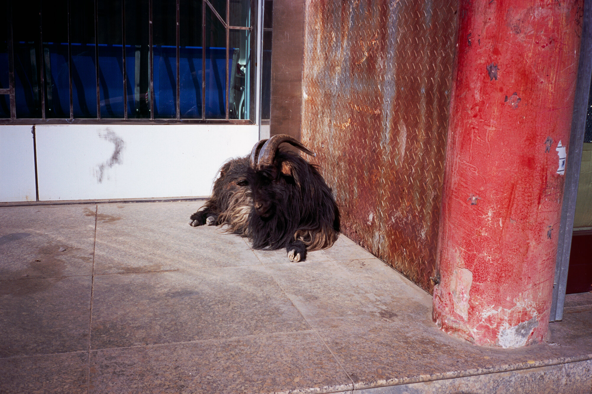 The Goat, Xiahe, Gansu, China, 2019
