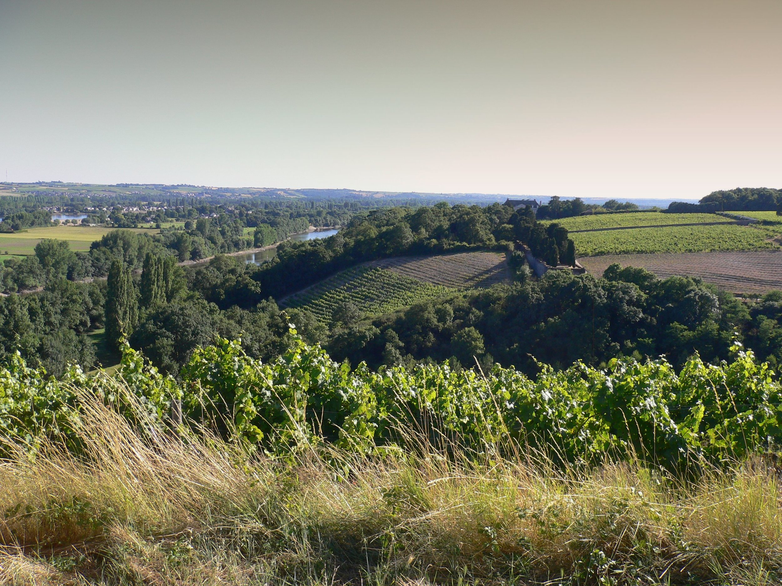 Vineyard Angers France.JPG