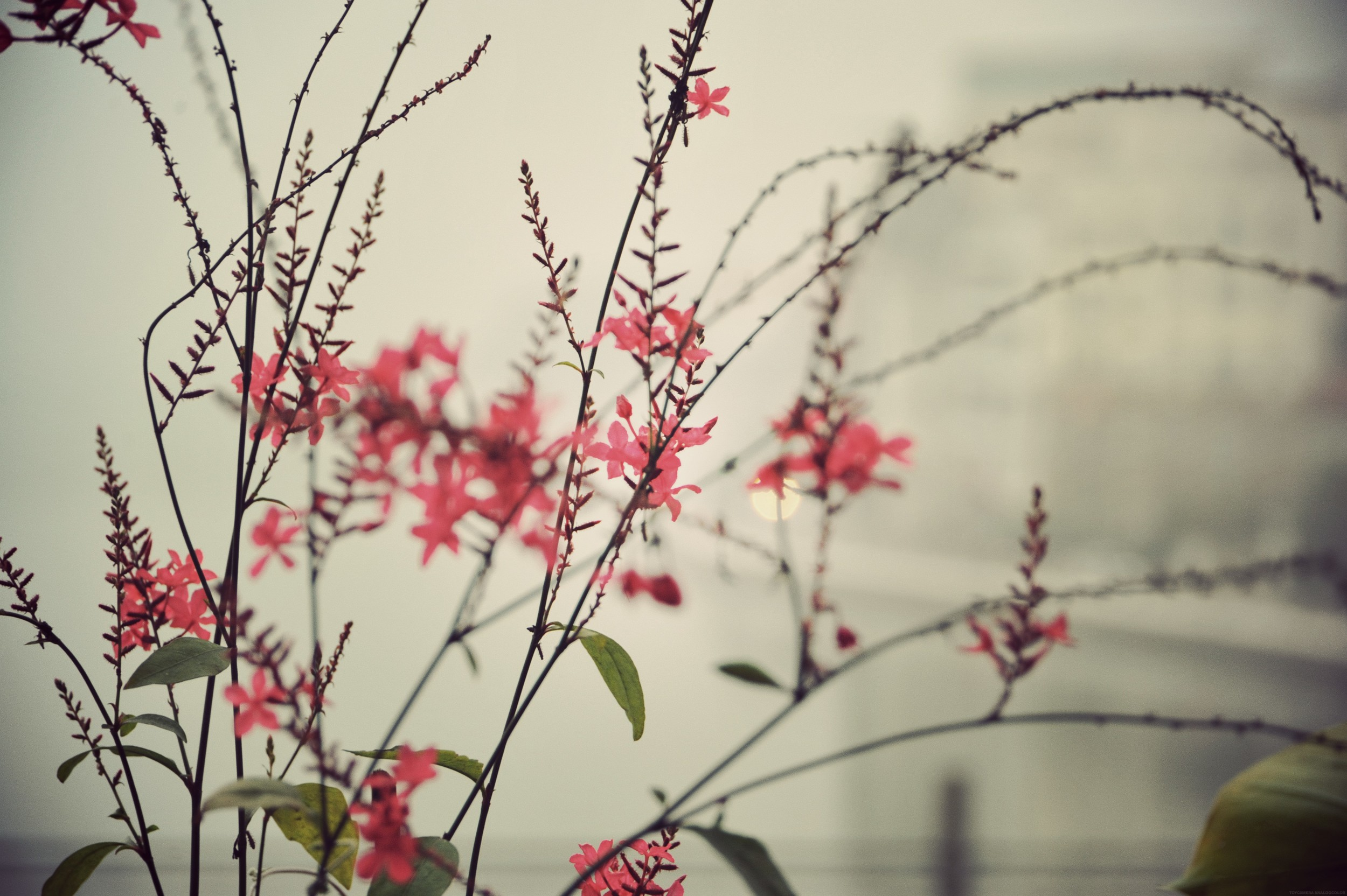 sepai flowers hanoi_effected.jpg