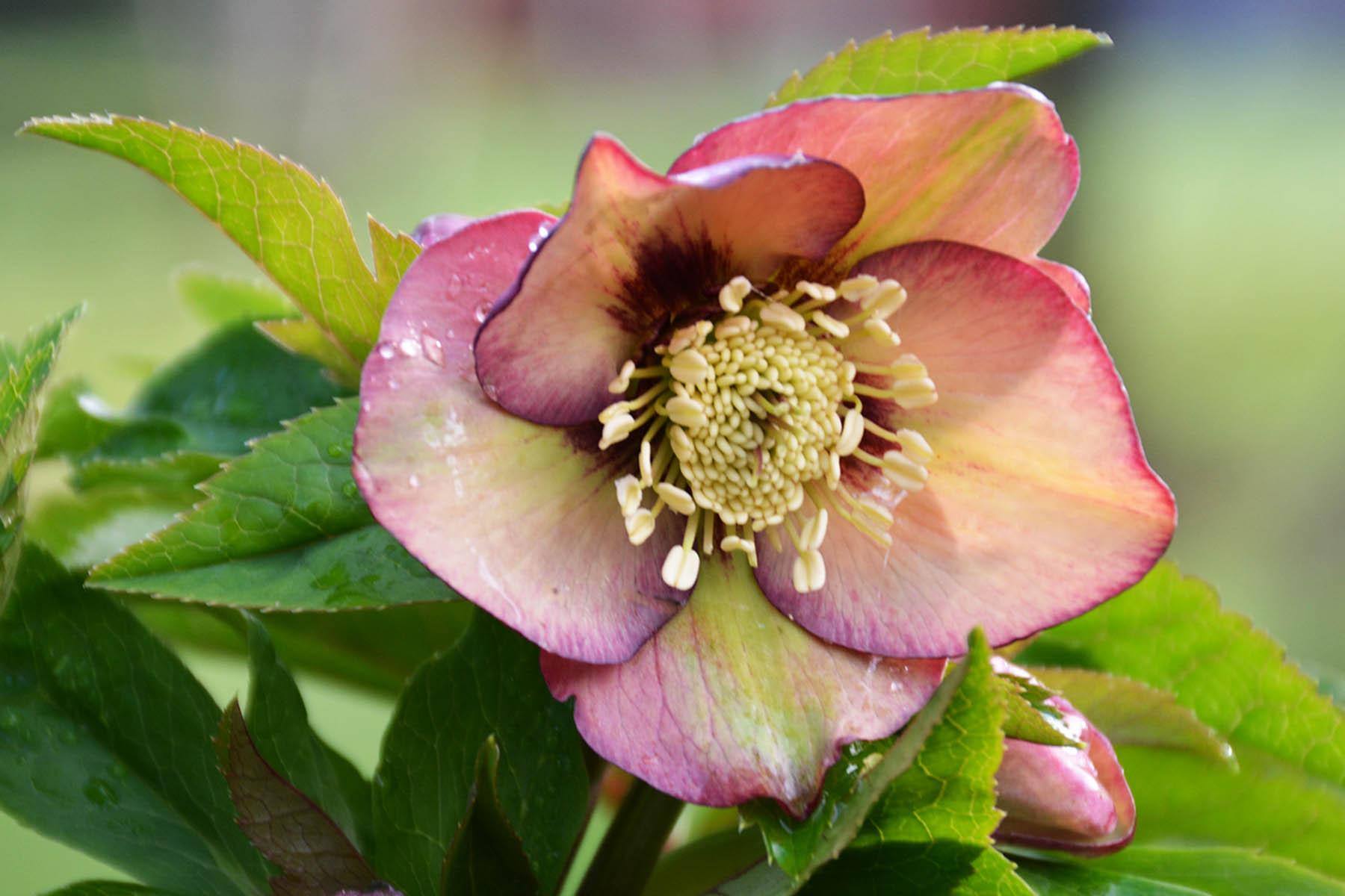 Helleborus 'Apricot Blush' - $14.00