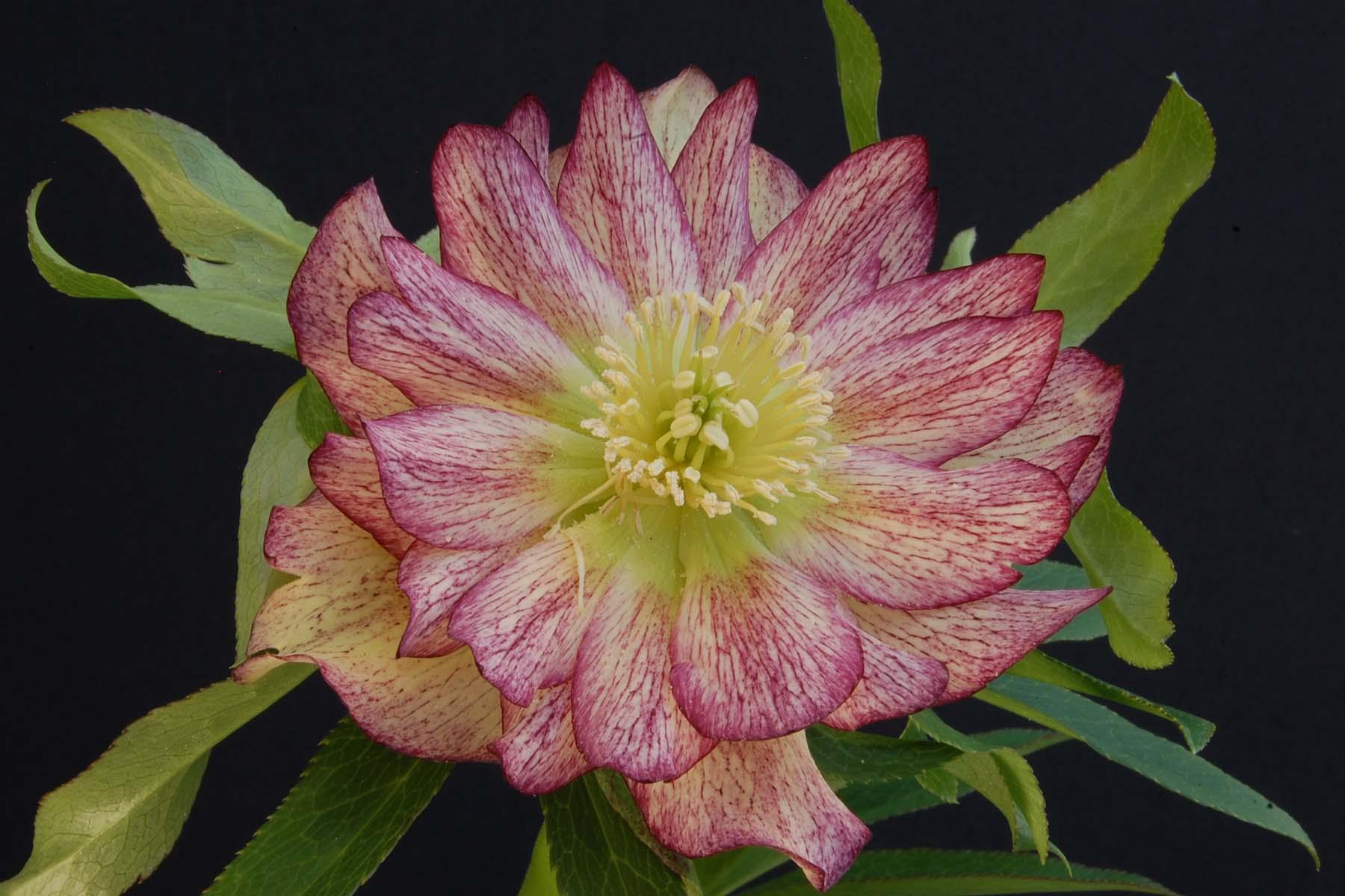 Helleborus 'Rose Quartz' - $14.00