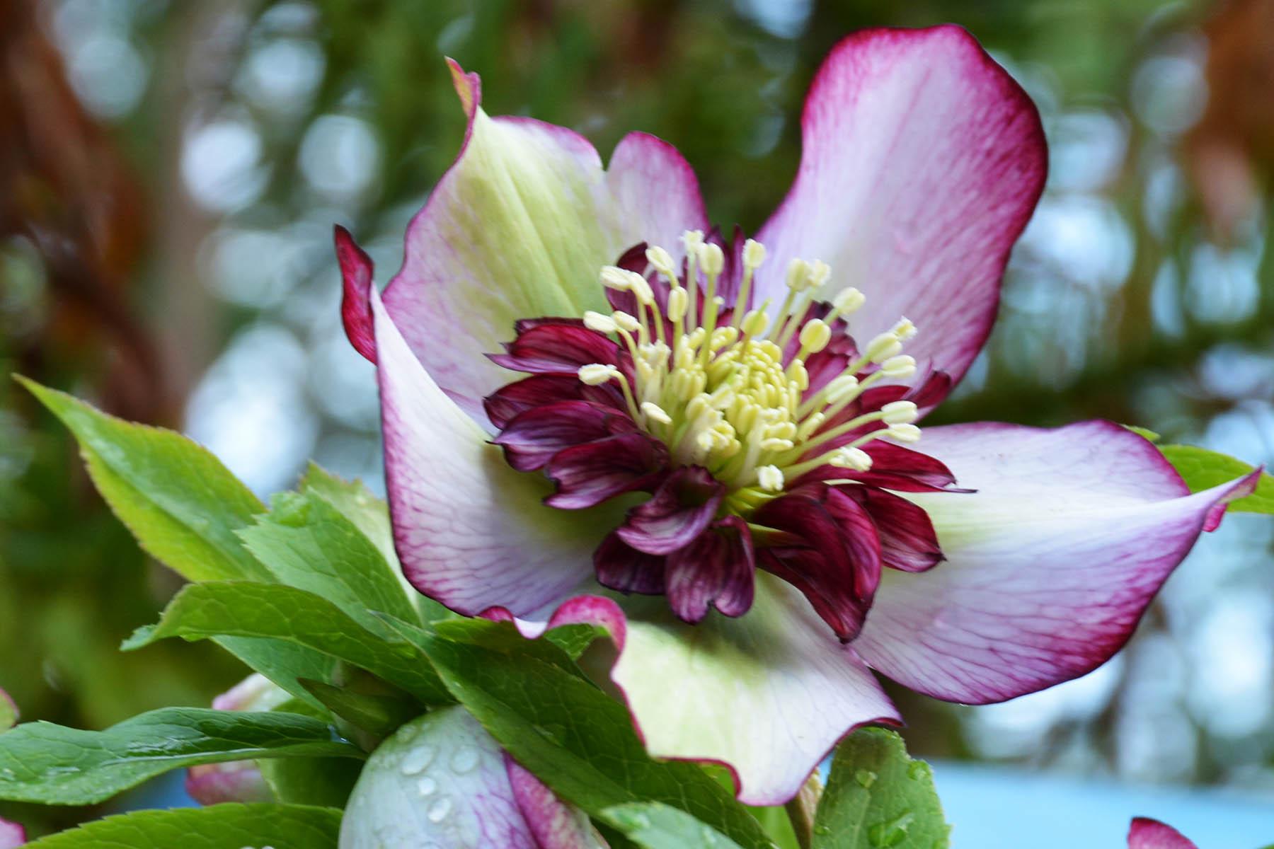 Helleborus 'Cherry Blossom' - $14.00