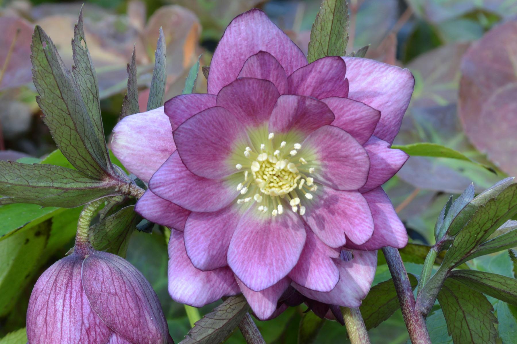 Helleborus 'Berry Swirl' - $14.00