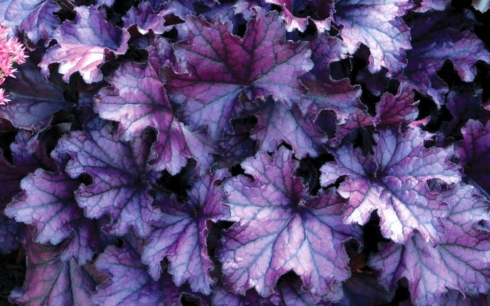 Heuchera 'Forever Purple'  Available at the Nursery $12