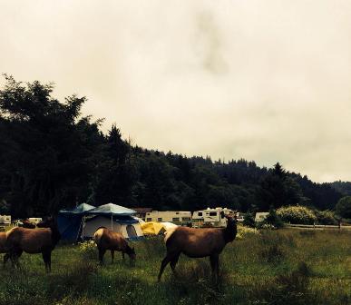 You can camp among elk in (surprise) Elk, CA!