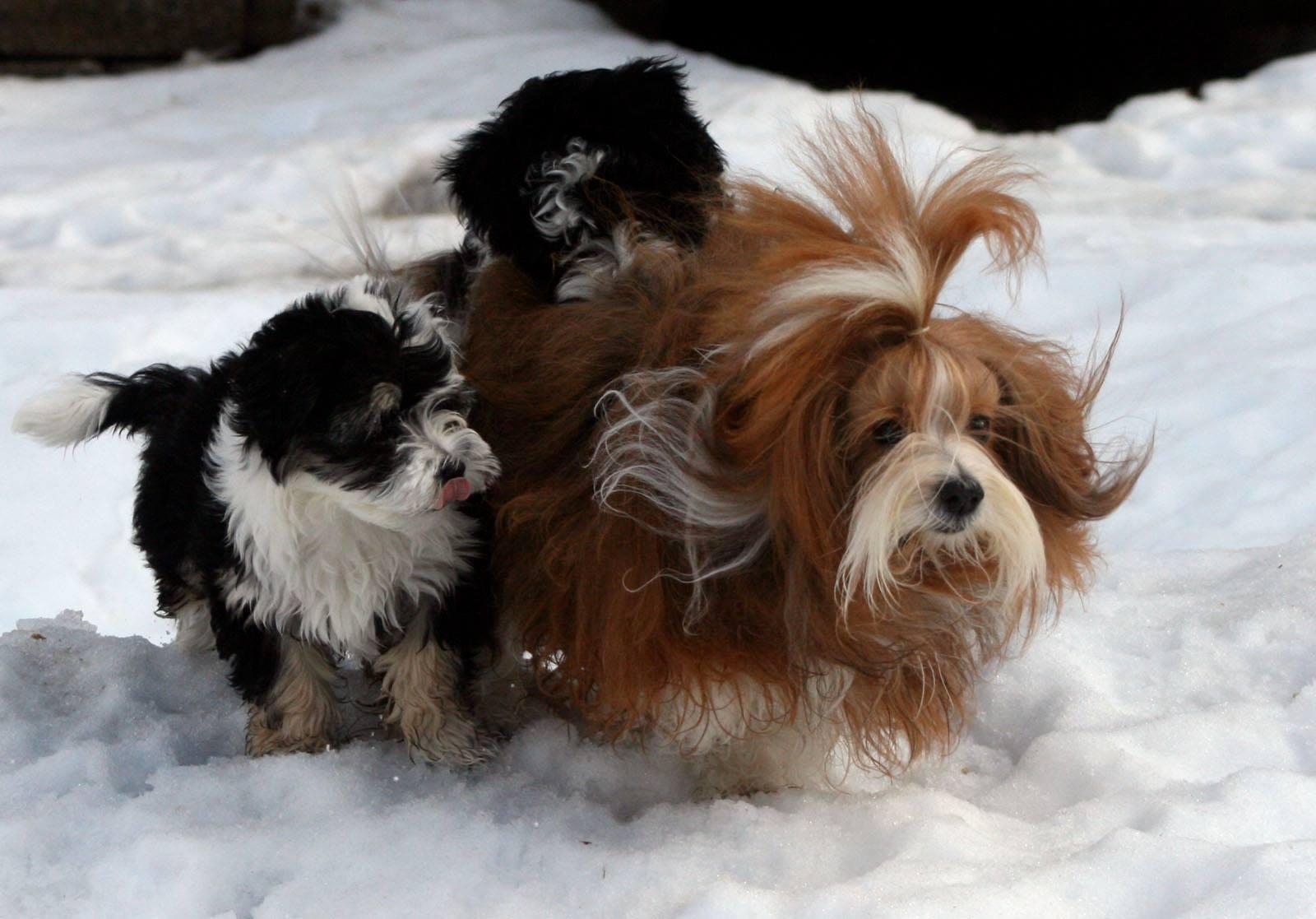 Mikorason Havanese Purebred Havanese puppies, champion lines