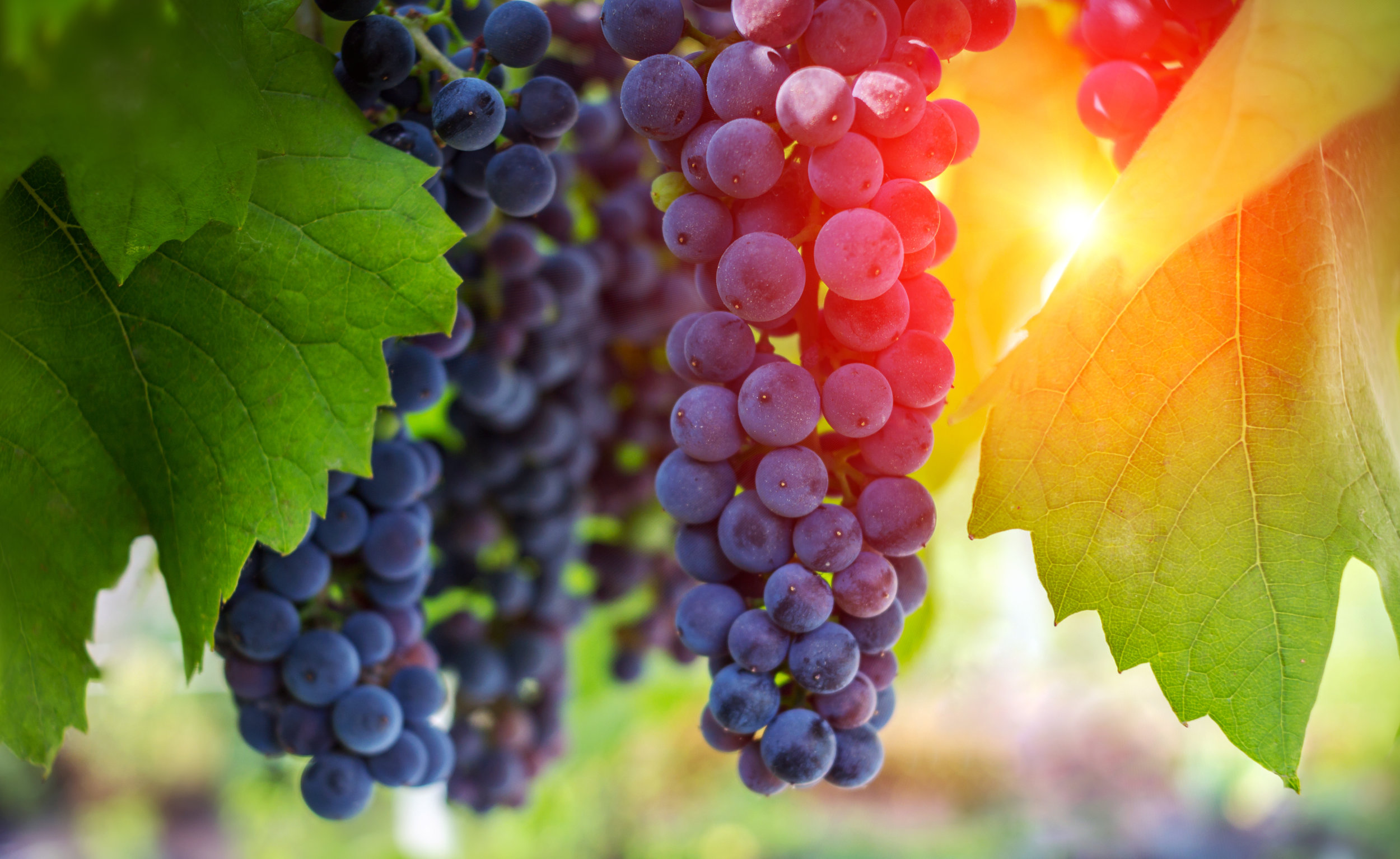 wine grapes, a ripe bunch of dark grapes, in the sun. Vineyards .