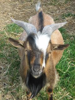 Fergus, Registered Purebred Nigerian Dwarf Buck