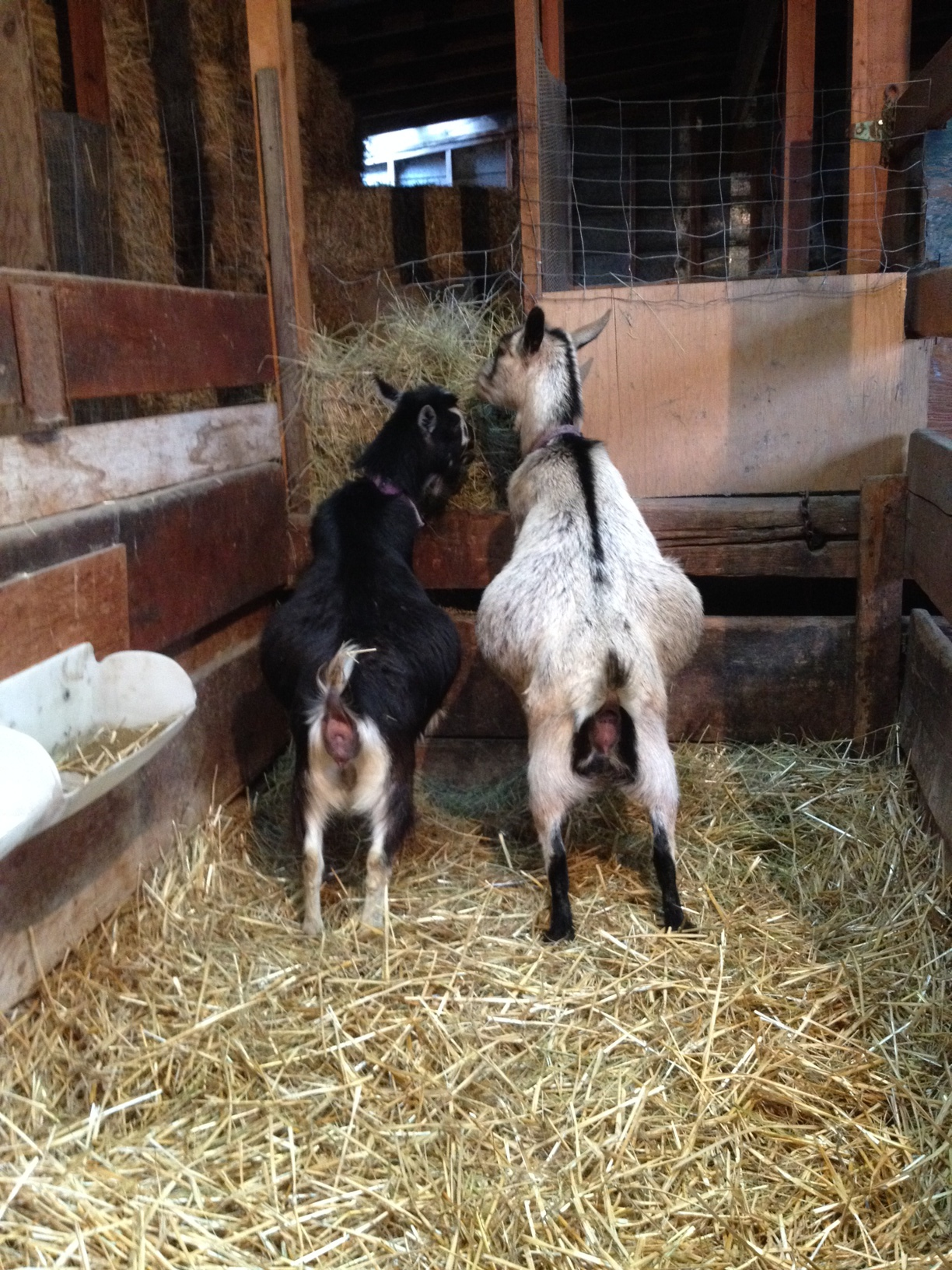 Photo taken February 17, 2014. These girls are getting big, but not ready for kidding just yet.