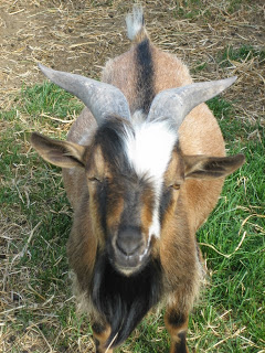 Our herdsire Fluirse Feirm Fergus. What a sweet, sweet boy. Fergus likes long walks, sweet treats, and scratches behind the ear.