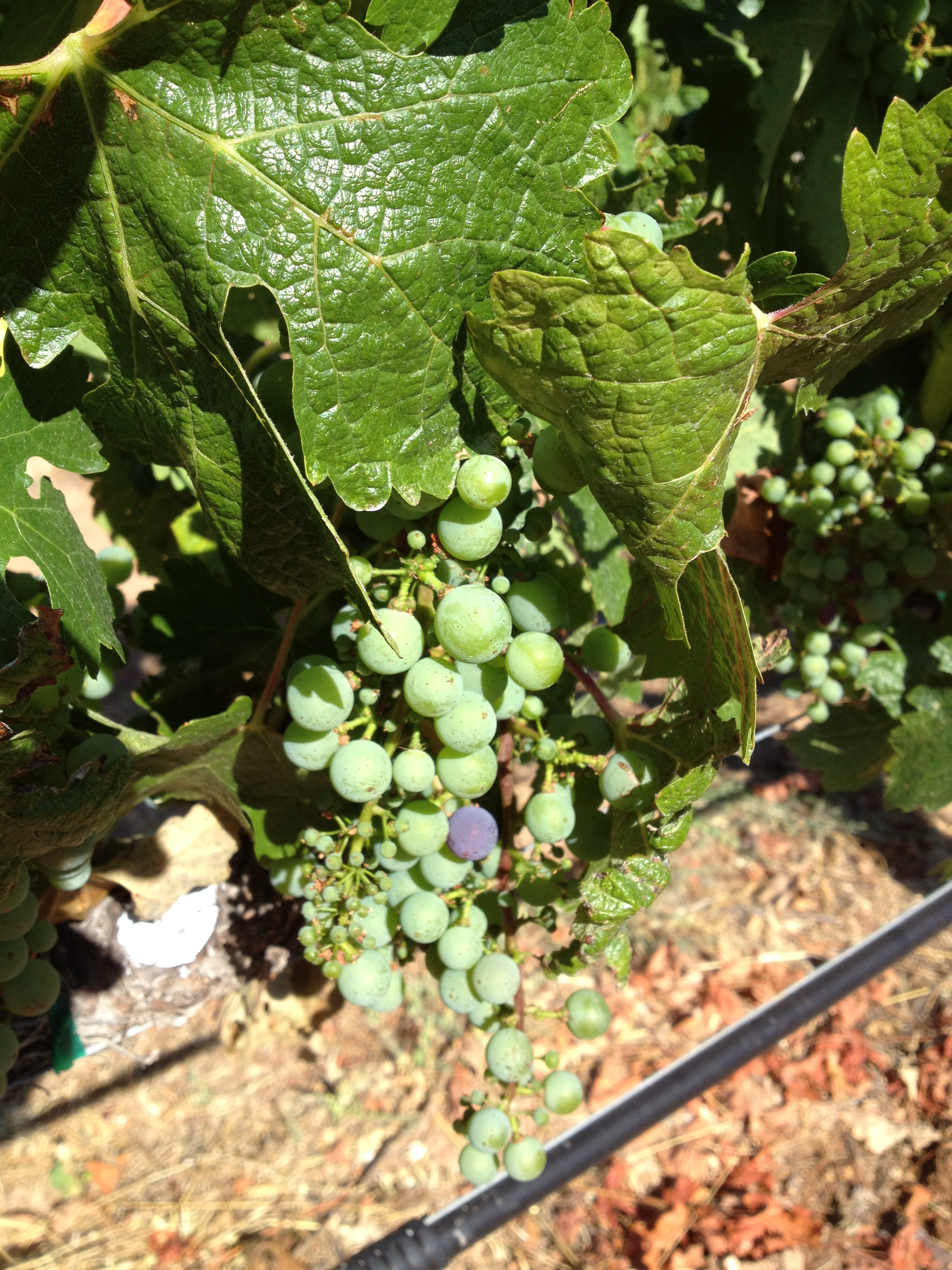 Early Verasion