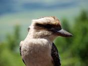 Tidbinbilla-Wildlife_Kookaburra_1.jpg