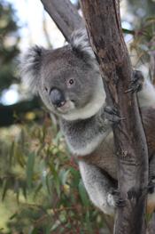 Tidbinbilla-Wildlife_koala_1.jpg