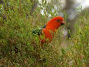 Tidbinbilla-Wildlife_KingParrot_1.jpg