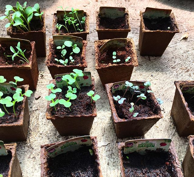 Discovery gardens growing well in the greenhouse.  Who else is getting into growing their discovery garden seeds?