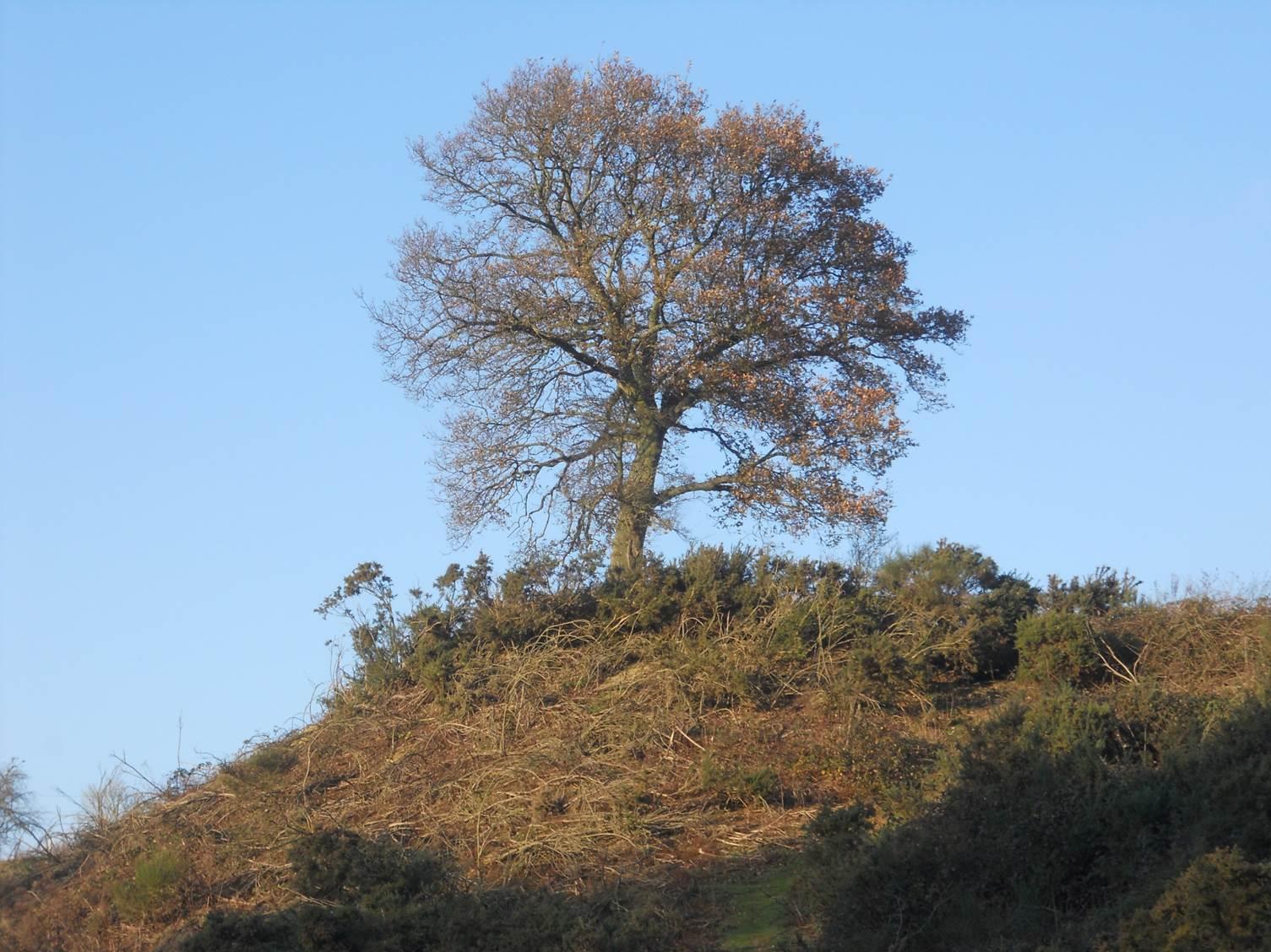 The Oak Tree 2013