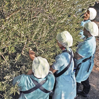 Olive Pickers:    GVTech