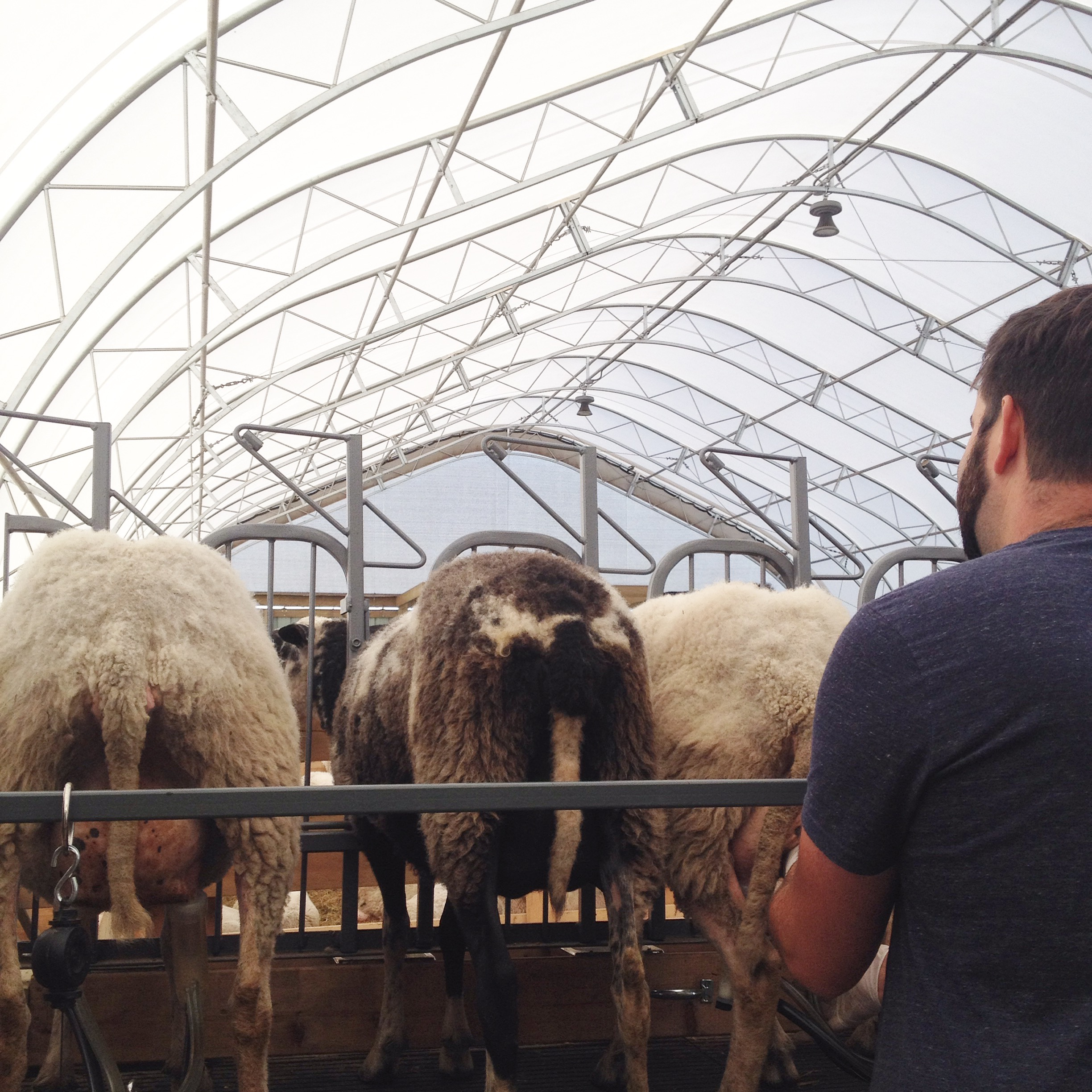 The ewes are milked twice daily during the summer months.