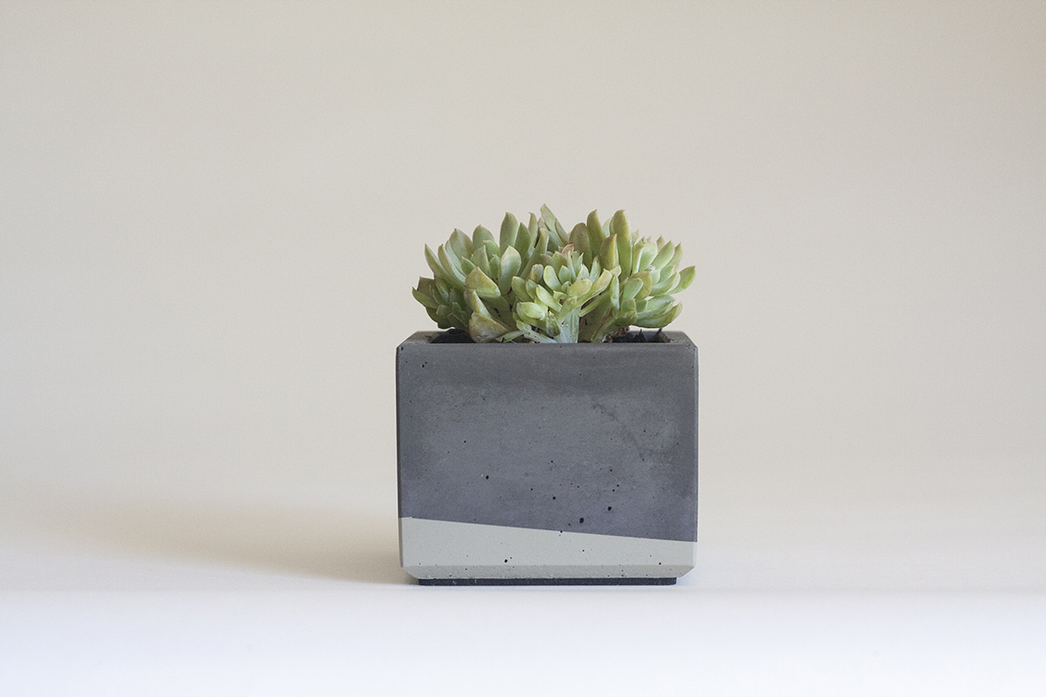 Crested echeveria  in our Small Concrete Planter, Charcoal Grey and Grey