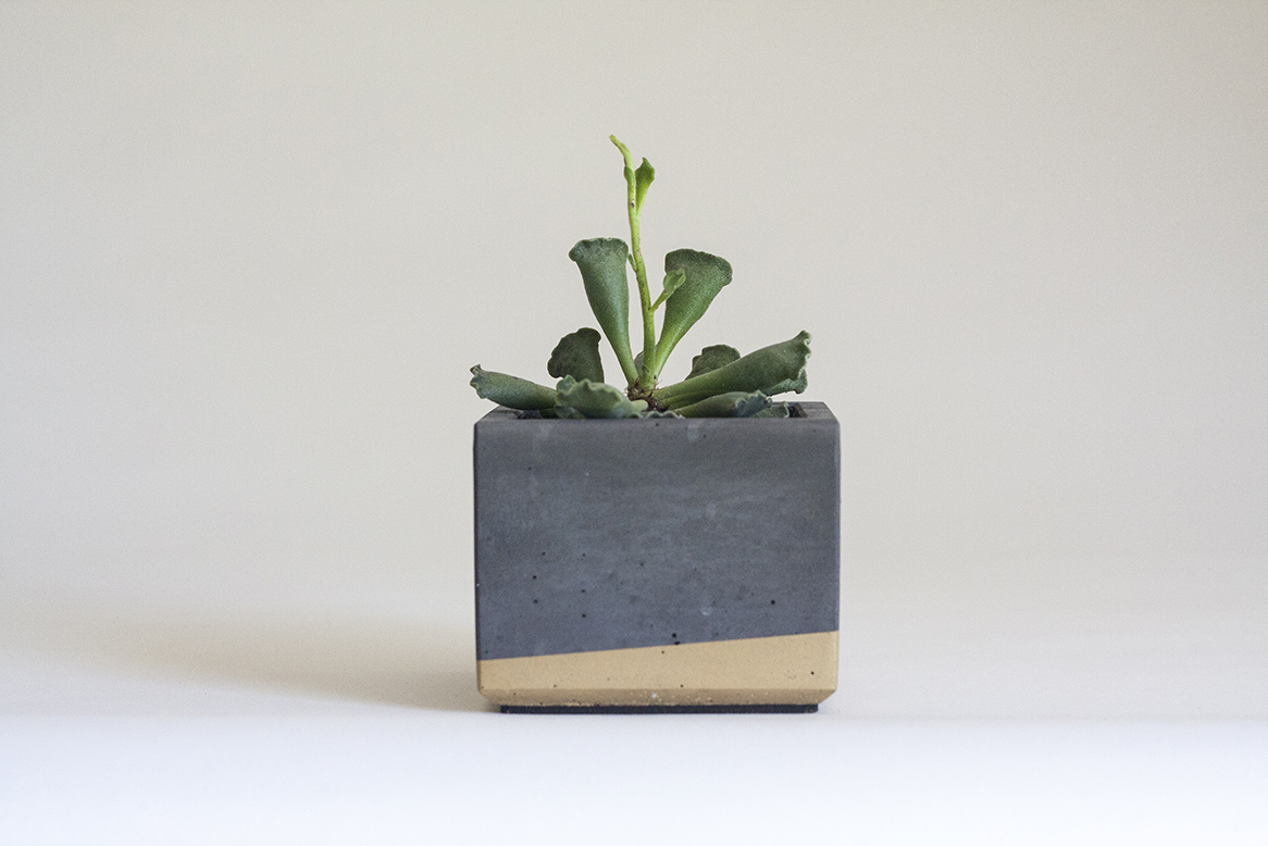 Adromischus cristatus key lime  in our Small Concrete Planter, Charcoal Grey and Gold